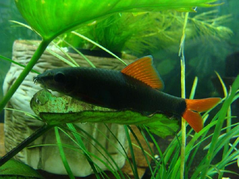 Tap fish index shark algae eater for Black algae in fish tank